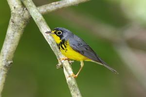 Canada Warbler, Cardinella Canadensis, Perching on a Tree Branch by George Grall