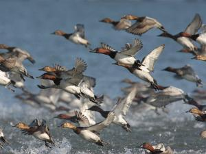 Canvasback Ducks, Aythya Valisineria, Taking Flight from the Water by George Grall