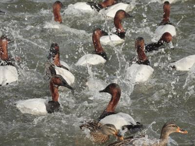 Canvasback Ducks in a Feeding Frenzy by George Grall
