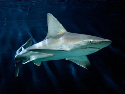 Captive Sandbar Shark by George Grall