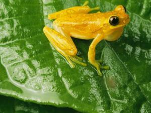 Close View of a Yellow Tree Frog (Hyla Imbricata) by George Grall