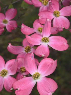 Cluster of Pink Dogwood Flowers, Cornus Florida Rubra by George Grall