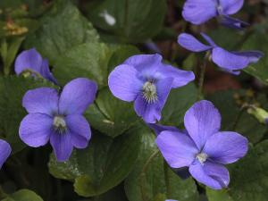 Common Wood Violets, Viola Papilionacea, Blooming in the Early Spring by George Grall