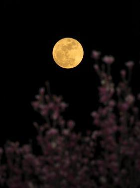 Full Moon Rises Behind Early Spring Flowering Trees by George Grall
