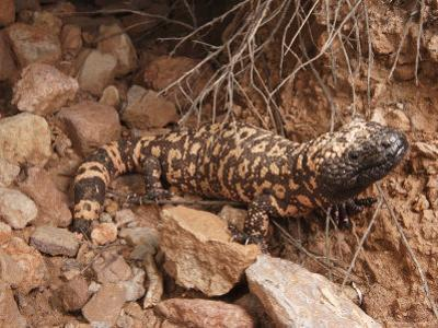 Gila Monster, Heloderma Suspectum, Out on an Evening Forage