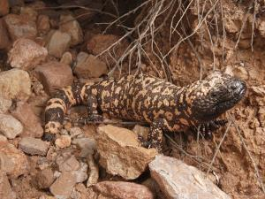 Gila Monster, Heloderma Suspectum, Out on an Evening Forage by George Grall