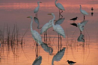 Great egrets, dowitchers, and American avocets in water at sunset. Egretta alba by George Grall