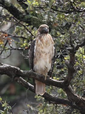 Immature Red Tail Hawk, Buteo Jamaicensis, Perched on a Branch by George Grall