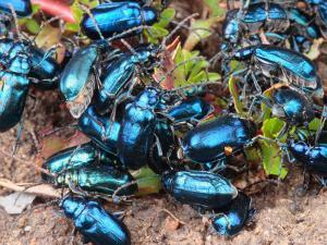 Mexican Blue Beetles in a Feeding Frenzy by George Grall