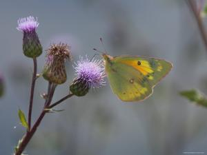 Orange Sulpher Butterfly Sips Nectar from a Thistle by George Grall
