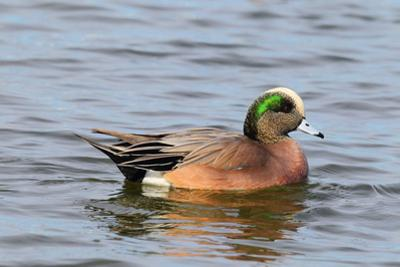Portrait of a Male American Wigeon, Anas Americana, Swimming by George Grall