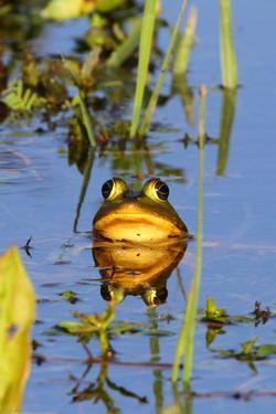 Portrait of a Male Pig Frog Mostly Submerged with its Head Above Water by George Grall