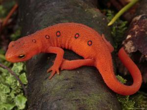 Red Eft Crawls on the Forest Floor by George Grall