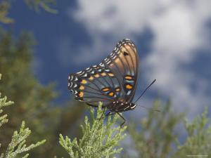 Red Spotted Purple Basilarchia Arthemis Has Lighted on a Juniper by George Grall