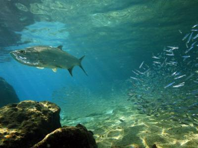 Tarpon, Megalops Atlanticus, Hunting for Prey Near Reef Silversides by George Grall