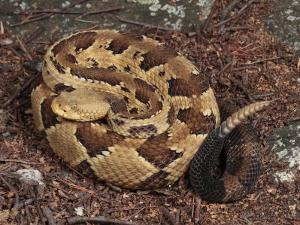 Timber Rattlesnake, Crotalus Horridus, Coiled and Ready to Strike by George Grall