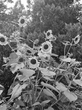 Sunflowers and Trees by George Marks