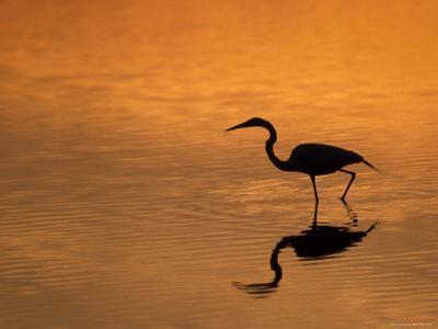 Heron Wading at Sunset, Ding Darling Nr, Sanibel Is, Florida, USA by George Mccarthy