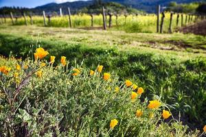 California Poppies In Napa Valley by George Oze