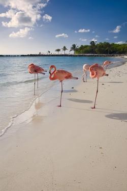 Caribbean Beach With Pink Flamingos, Aruba by George Oze