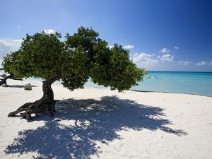 Divi Tree, Aruba by George Oze