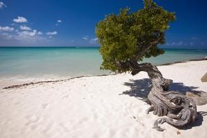 Eagle Beach with a Fofoti Divi Tree Aruba by George Oze