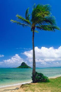 Kaneohe Bay Palm Tree, Hawaii by George Oze