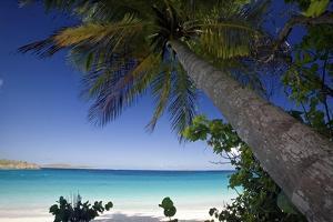 Trunk Bay Palm Tree, St John, US Virgin Islands by George Oze