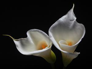 Two Calla Lilies Against Black Background by George Oze