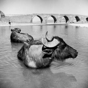 Water-Buffalo by George Pickow