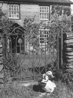 Jemima Puddle-Duck Posing in Front of Iron Gate Outside Beatrix Potter's Home by George Rodger