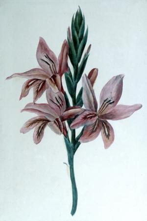 Glaieul (Gladiol), 19th Century