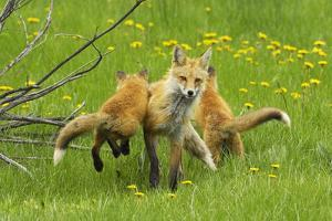 American Red Fox (Vulpes Vulpes Fulva) Baby Leaping On Its Disinterested Mother by George Sanker