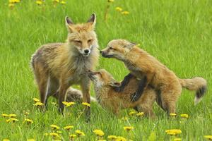 American Red Fox (Vulpes Vulpes Fulva) Mother And Two Cubs Playing by George Sanker
