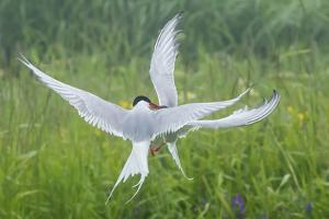 Arctic tern, two fighting, Machias Seal Island, Canada by George Sanker