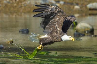 Bald eagle catching an Alewife in Somes Sound, Acadia National Park, Maine, USA