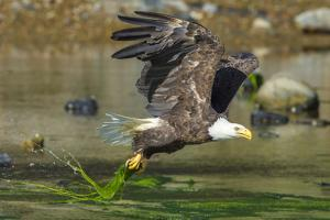 Bald eagle catching an Alewife in Somes Sound, Acadia National Park, Maine, USA by George Sanker