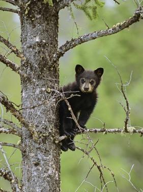 Black Bear (Ursus Americanus) Cub Balancing On Branch In Tree, Yellowstone Np, Wyoming, USA by George Sanker