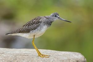 Greater yellowlegs standing on rock, Acadia NP, Maine, USA by George Sanker