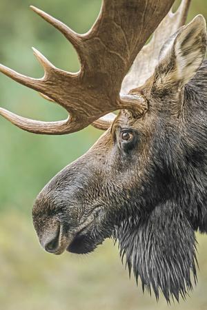 Moose (Alces alces) bull portrait,  Baxter State Park, Maine, USA.