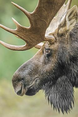 Moose (Alces alces) bull portrait,  Baxter State Park, Maine, USA. by George Sanker