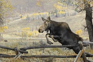 Moose (Alces Alces) Jumping a Fence, Grand Teton National Park, Wyoming, USA, October by George Sanker