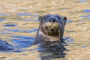 North American river otter, Acadia National Park, Maine, USA by George Sanker