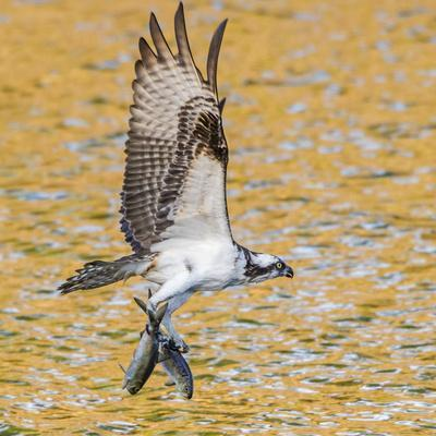 Osprey with two Alewife just caught in the Atlantic Ocean. Acadia National Park, Maine, USA
