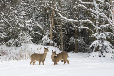 White-Tailed Deer (Odocoileus Virginianus) In Snow, Acadia National Park, Maine, USA, February