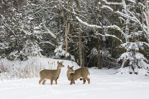 White-Tailed Deer (Odocoileus Virginianus) In Snow, Acadia National Park, Maine, USA, February by George Sanker
