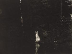 A Lynx Photographed at Night by Wildlife Photographer George Shiras by George Shiras