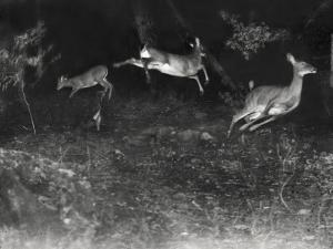 Deer Leap in Earliest Nighttime Flash Photography Shot by George Shiras