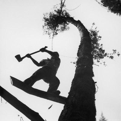 Lumberjack Cutting Tree in New Zealand