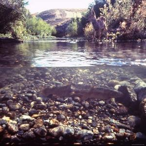 Rainbow Trout Resting in Tributary of Madison River with Fawn Drinking at Water's Edge by George Silk